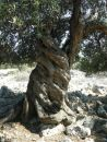 ostrov Pag - Lun, staré olivy